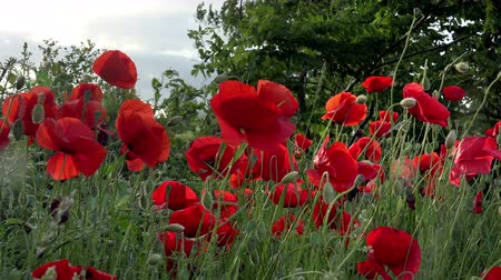 rose anemone : beautiful flowers. red poppy ranunculus field