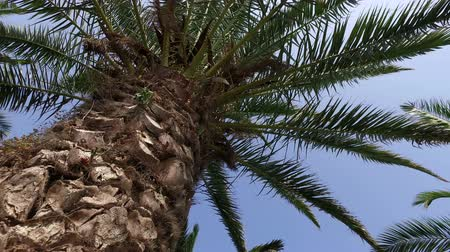 worms eye view : Camera Crane Moving Toward top of Palm Tree, 4k Stock Footage