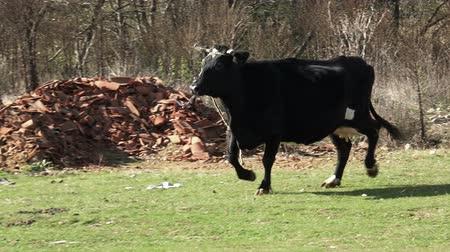 býci : cow running in field
