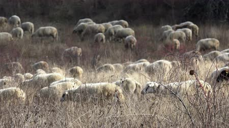 koyun : Sheep on the hill Stok Video