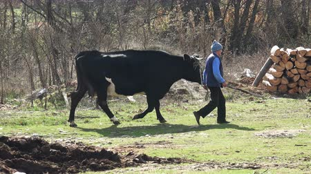 breeder : Farmer and cow at farmland