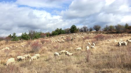 toscana : Sheep on the hill Stock Footage