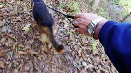 dog sitter : POV Walking dog in the forest over autumn leaves Stock Footage