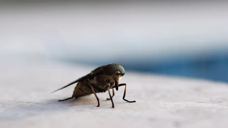 entomoloji : Live horsefly, macro shot Stok Video