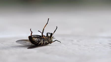 trombeta : Close up of dying horse fly on floor