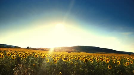 Beautiful Sunset Over Sunflower Field. Drive along the agriculture field. Shot Nature Beauty Farming Concept Stock Footage