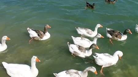 Ducks Swim in Pond slow motiion