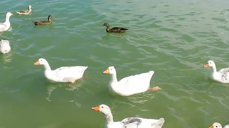 Flock of duck birds swimming in pond fromo right to left, slow motion Stock Footage