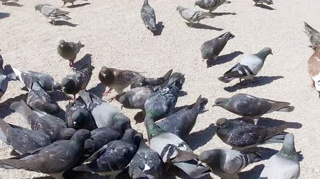 creed : PARIS - Pigeons eating in square in front of Notre Dame Cathedral, SLOW MOTION