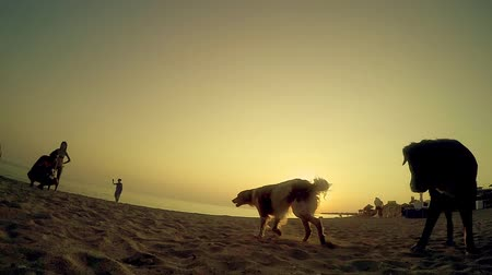 cheirando : Shot of a dogs Looking and Sniffing into the Camera at the beach sunset, SLOW MOTION Stock Footage