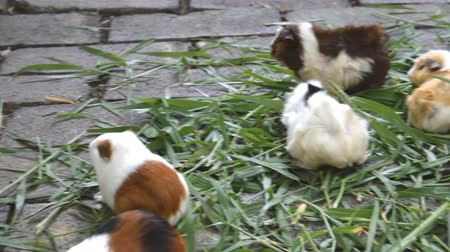 świnka morska : Guinea pig eating grass