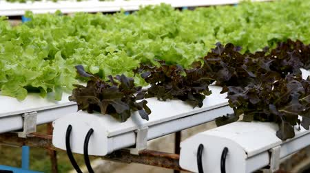 plantio : Hydroponic vegetables growing in greenhouse Stock Footage
