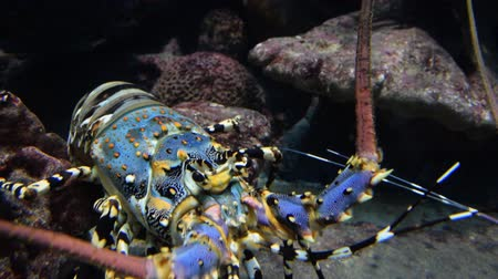 Colourful Iobster under water Wideo