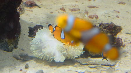 Clown fish and coral. Wild life animal.