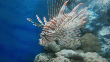 scorpionfish : Lion Fish in the Sea