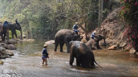 marfim : Chiang Mai Thailand - March 24, 2019: Elephants taking a bath with mahout in river, in Chiang Mai Thailand.