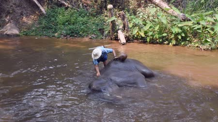 Chiang Mai Thailand - March 24, 2019: Elephants taking a bath with mahout in river, in Chiang Mai Thailand.