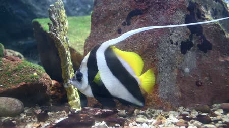mór : Pennant coralfish in blue water. Bannerfish Stock mozgókép