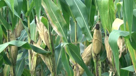 pelúcia : Corn cobs in corn field plantation with plants and leaves Stock Footage