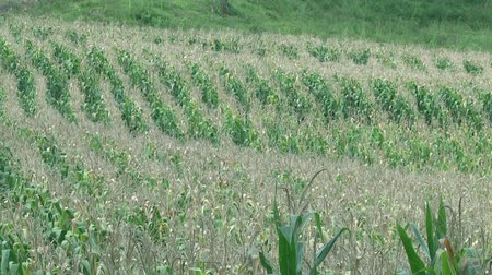 farm in brazil : Corn field plantation agriculture production in Brazil Stock Footage