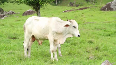 farm in brazil : white bull at the green field country Stock Footage