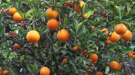 citrom és narancsfélék : many oranges on the tree in sunny day