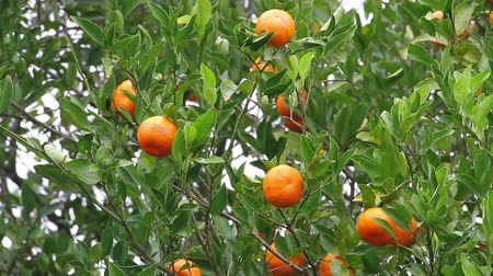 pronto a comer : many tangerines fruits in the tree ready to eat
