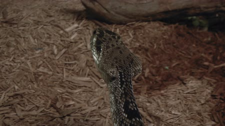 yılan : A close up of rattlesnake coiled with forked tongue Stok Video