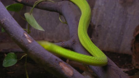 had : A green mamba crawling on a tree branch