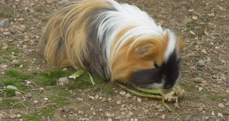 świnka morska : Brown guinea pig eating salad
