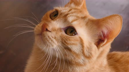 zázvor : Orange tabby cat looking up