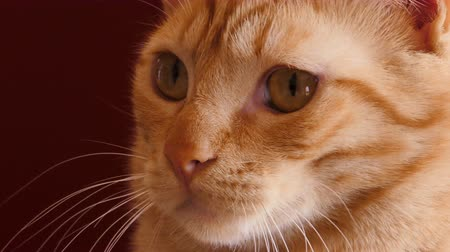 zázvor : Orange tabby cat portrait close up on a dark red background