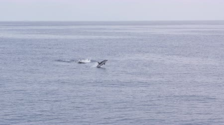 yunus : Pod of dolphins jumping Stok Video