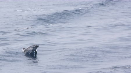 yunus : Pod of dolphins surfing on waves
