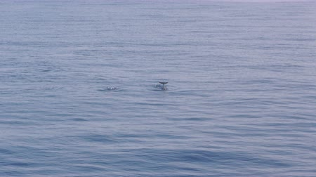 yunus : Pod of dolphins swimming in Ligurian Sea Italy Stok Video