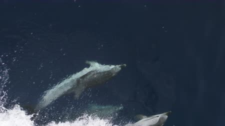 yunus : Pod of dolphins swimming underwater