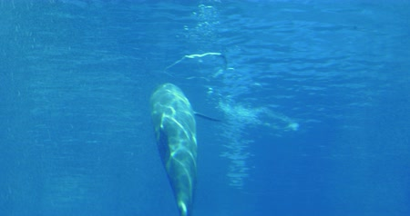 yunus : A dolphin swimming underwater
