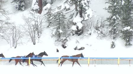 horserace : The Grand Prix horserace ended in a fall of five horses and riders on February 9th, 2014 in St. Moritz Switzerland Stock Footage