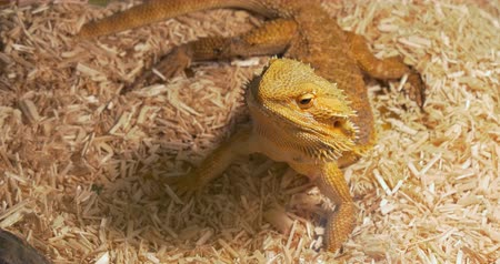 pogona : A close up of a bearded dragon (pogona vitticeps) Stock Footage