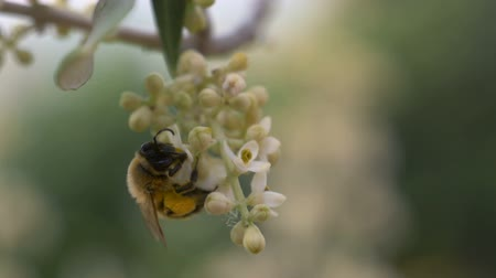 pszczoła : Close up of honey bee collecting nectar from the white flowers of tree, in slow motion
