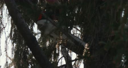 инструмент : Close up of a lumberjack pruning branches of a spruce with a chainsaw