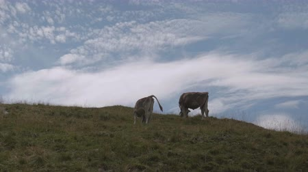 přežvýkavec : Cows graze on Alpine hills