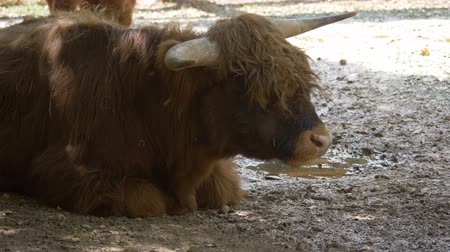 ruminante : Highland Cattle chewing grass
