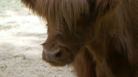 přežvýkavec : Close up of Highland Cattle chewing grass Dostupné videozáznamy