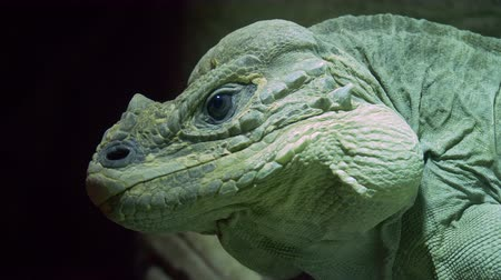 black iguana : A close up of a rhinoceros iguana on a black background