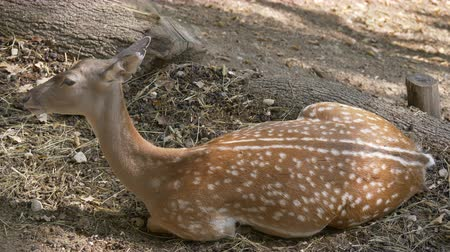 олененок : A young fallow deer lying in a forest