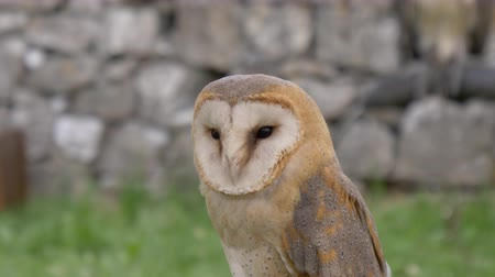 авес : A Barn Owl portrait