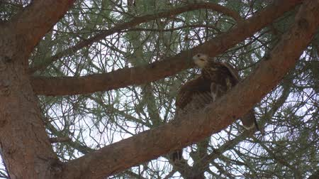 肉食動物 : A falcon take flight from a tree branch 動画素材