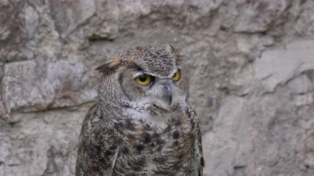 presa : A Horned Owl portrait