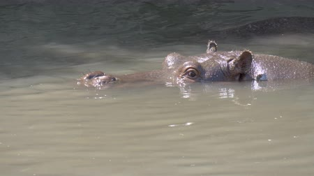 submerge : Close up of a hippopotamus in the water
